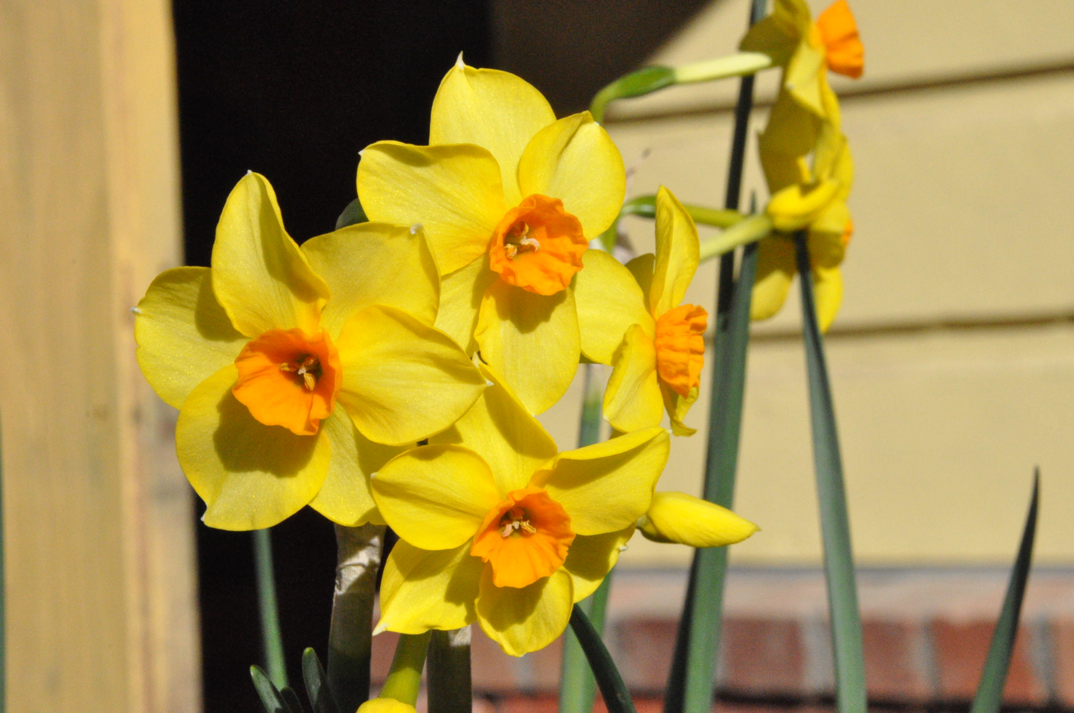 Narcissus in the Albion Manor Garden