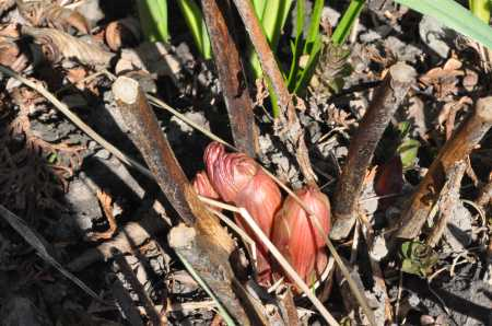 Peony Buds in the Garden at Albion Manor in Victoria BC