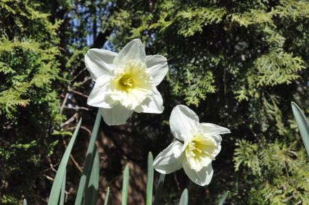 Whilte Daffodils