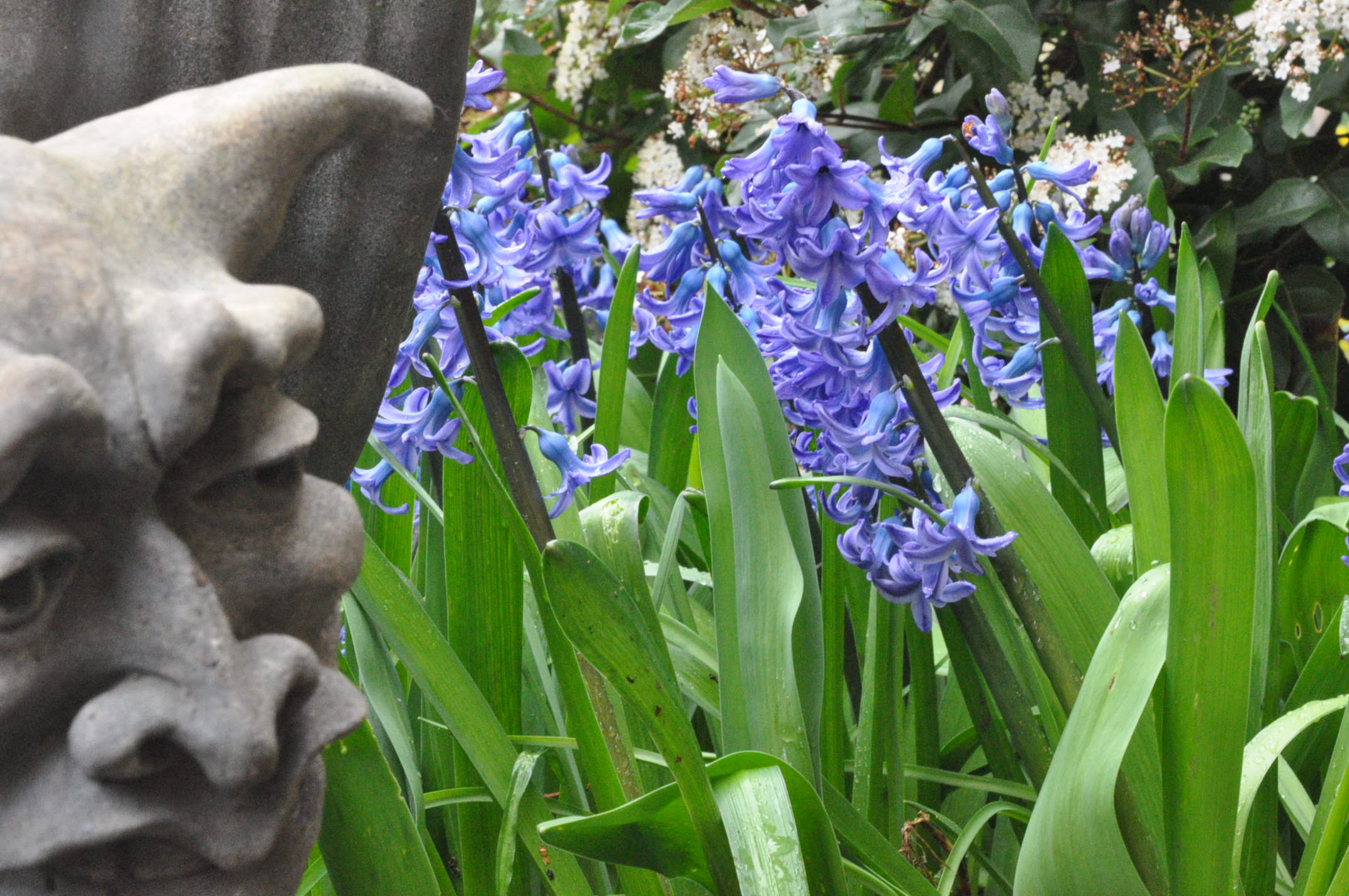 Gargoyle and Hyachinths in the Albion Manor Garden