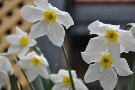 Daffodil or Narcissus
