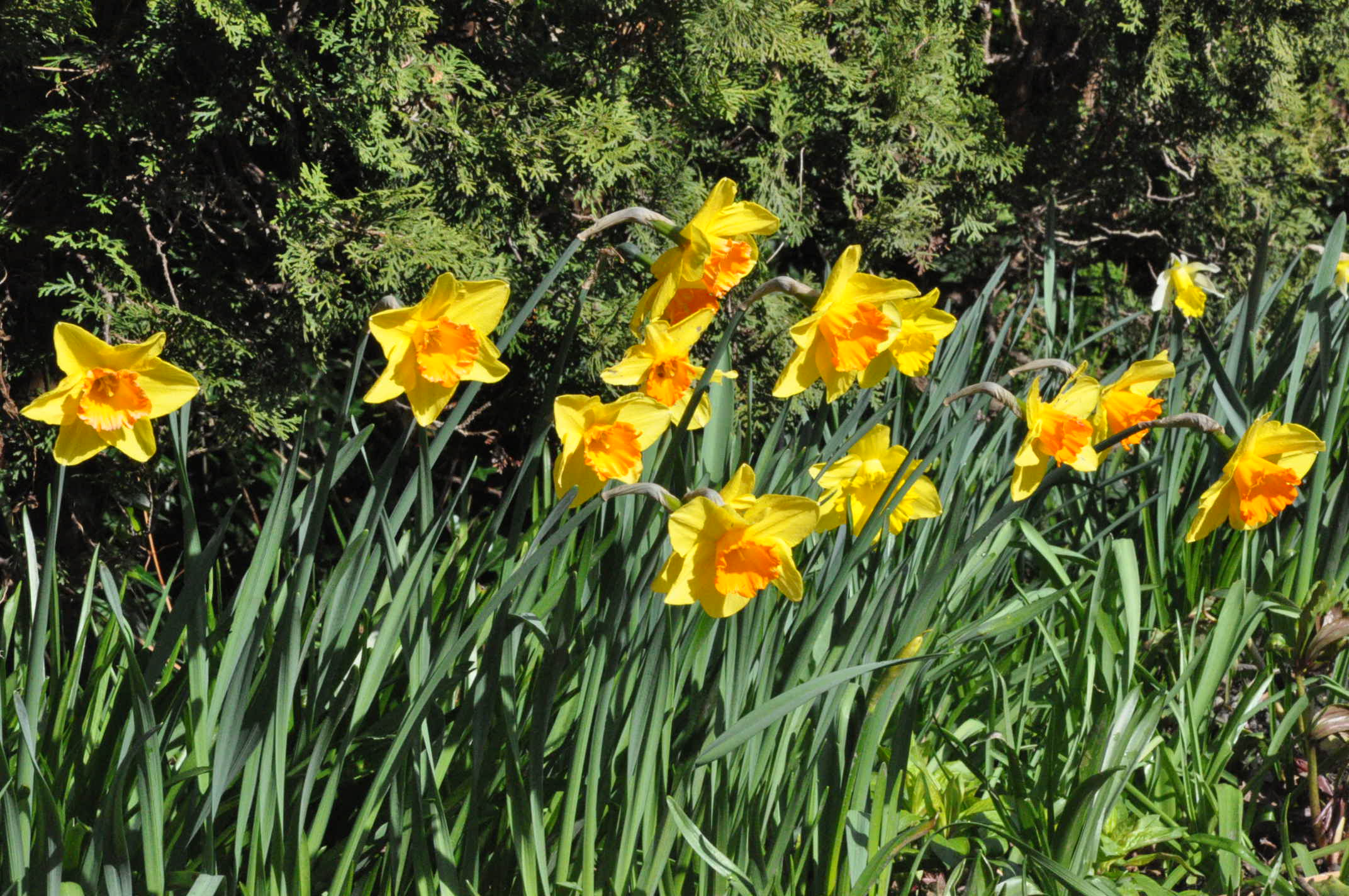 More Daffodils in the Albion Manor Garden