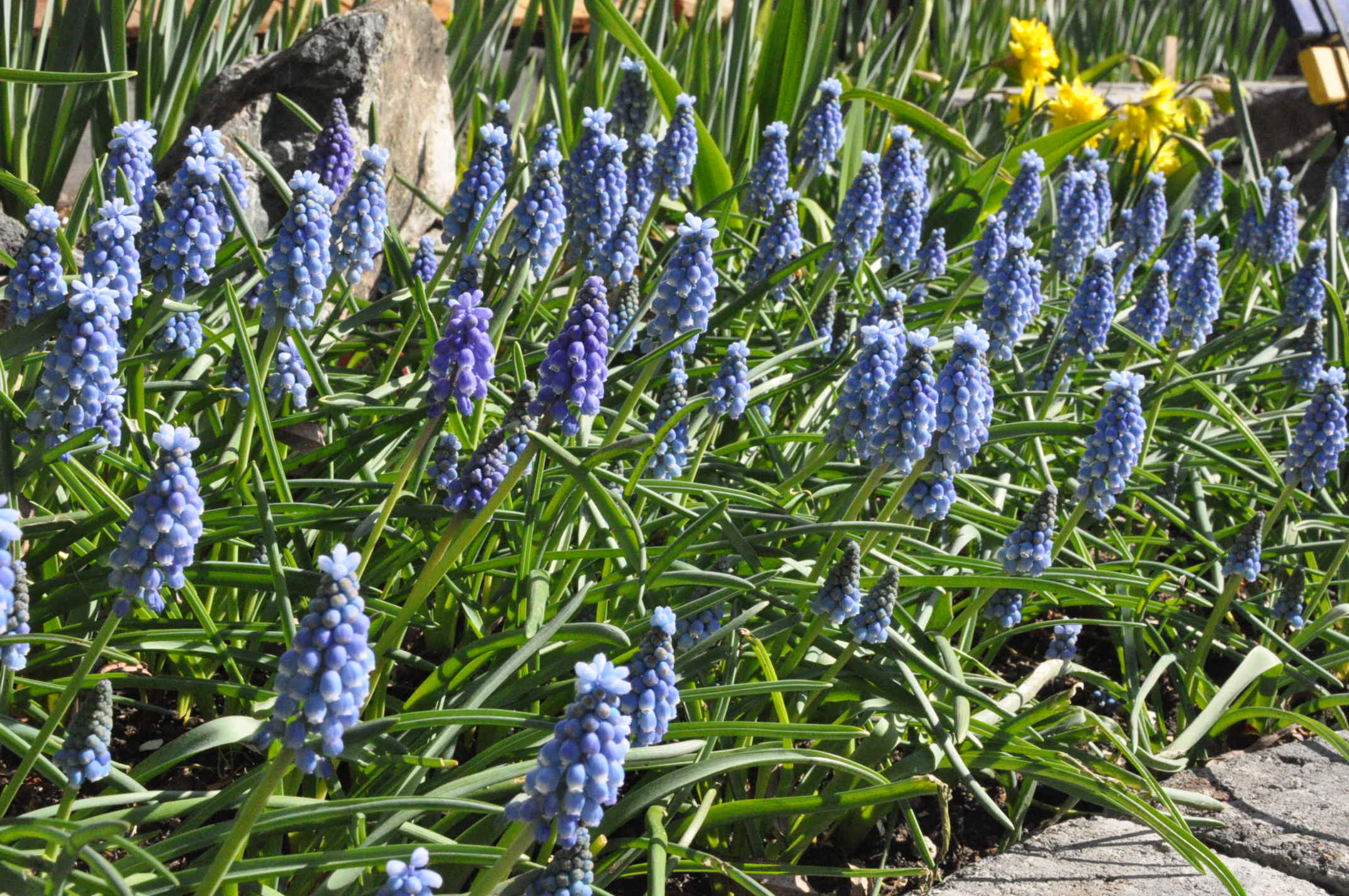 River of Muscari?