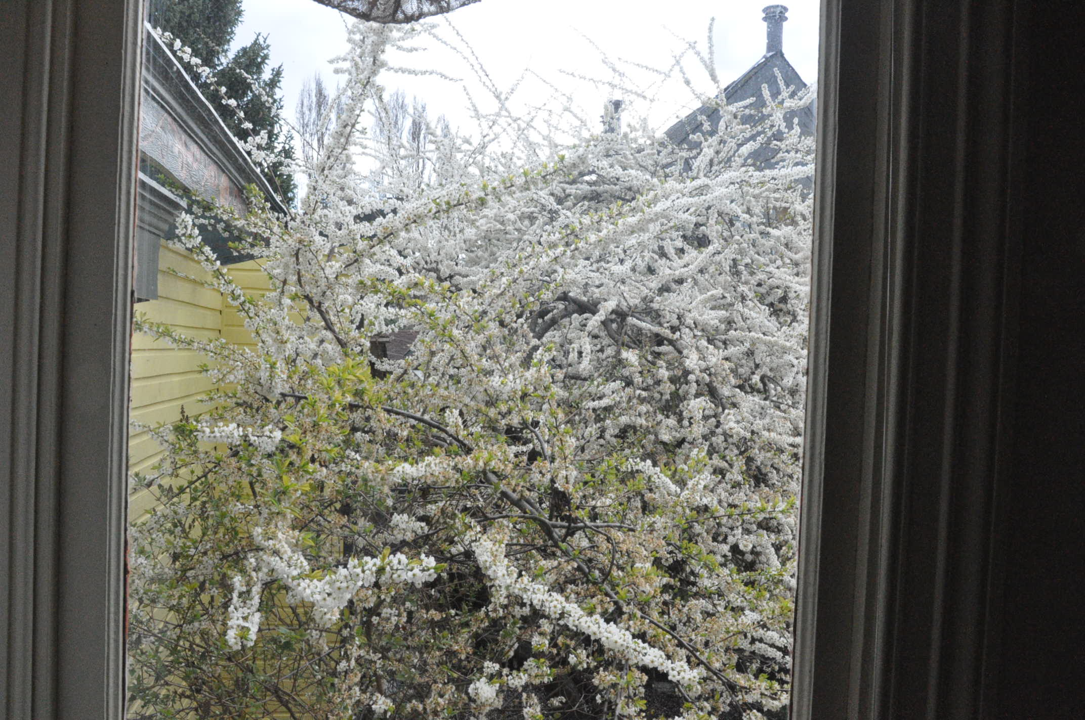 Golden Plum Tree through the Bathroom Window of Room 5