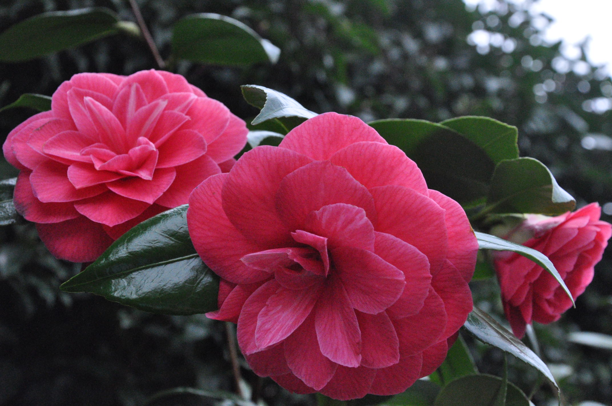 Camellias in the Garden at Albion Manor Bed and Breakfast in Victoria